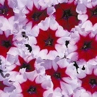 Petunia - 100 Seeds - Cascadias Rim Magenta Petunia - Rare Find - Rngardens