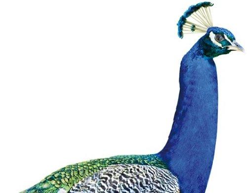 Apalis Wandtattoo Pfau Wandsticker Vogel Tier Fauna Bunt Federn 15 x 14 cm