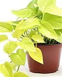 Pianta di POTHOS GOLDEN NEON 'Epipremnum Pinnatum' - in vaso Ø 12 cm – h. 15/20 cm