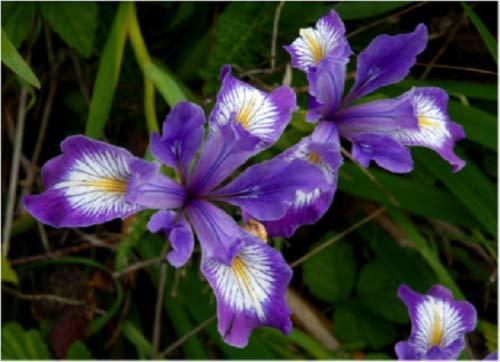 20+ Iris/Tenax / Oregan/vivace pourpre et blanc Iris Graines