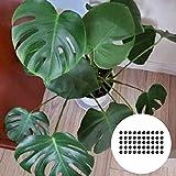 Semillas de frutas de flores 50pcs / bolsa Monstera semillas de hojas en forma de media luna balcón decoración verde maceta semillas de planta para el hogar - Semillas crecen su propio jardín