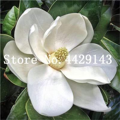 RETS Red Magnolia Bonsai Häufige Magnolia Blumen Bonsai Pot Hausgarten-Anlagen die gesamte Palette der Blumen 50 PC: 3