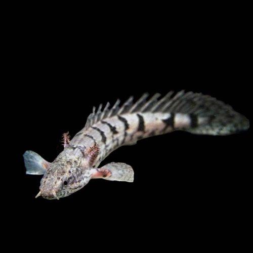 (熱帯魚)ポリプテルス デルヘッジィ(約6-8cm)<1匹>[生体]