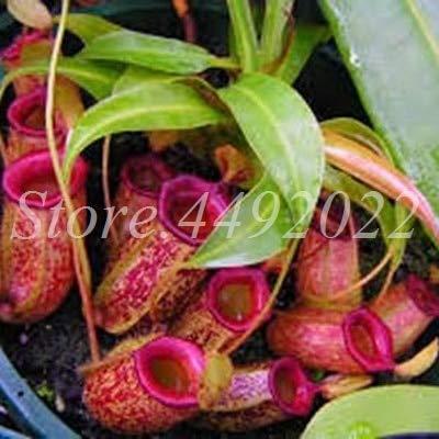 AGROBITS 300 pièces rayées Nepenthes Bonsai Manger moustiques Plantes carnivores Pitcher Tropical Catch Jardin des insectes pour Flower Pot en pot: 6