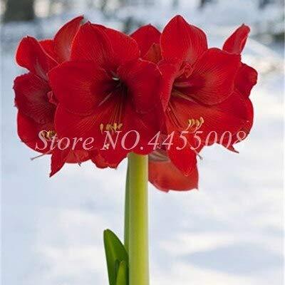 SVI frais 100 pcs Amaryllis fleurs Non bulbes semences pour Red 3