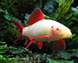 Quinn's Fins Live Freshwater Aquarium Fish -2-3 -' Albino Rainbow Shark - Albino Rainbow Shark - by Live Tropical Fish - Great for Aquariums - Populate Your Fish Tank!