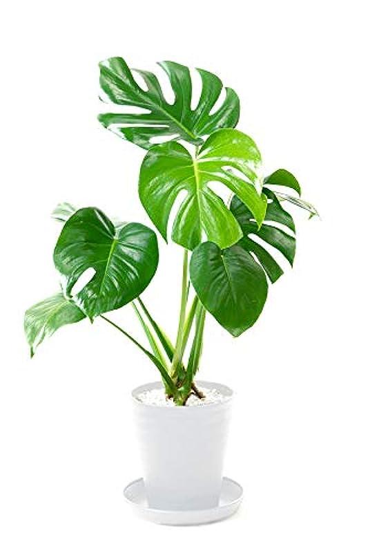 【セラアート鉢】選べる観葉植物 6号鉢 (モンステラ, ホワイト)