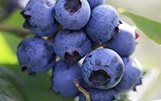 (1 Gallon) Delite Blueberry Shrub, Medium Size Fruit with Good Flavor, Late-Season Variety That Produces Large, Firm Light Blue Berries with a Light red Blush When ripe.