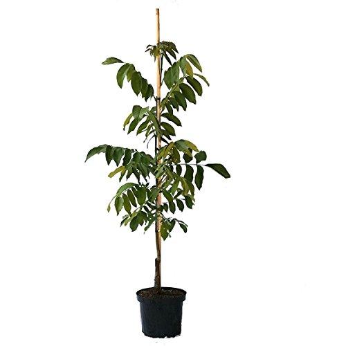 Grüner Garten Shop Esterhazy II, veredelter selbstfruchtbarer Walnussbaum, ca. 80-100 cm, im 9,5 Liter Topf