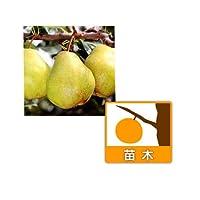 セイヨウナシ(西洋梨):バートレット4~5号ポット[豊産性の早生中果][苗木]