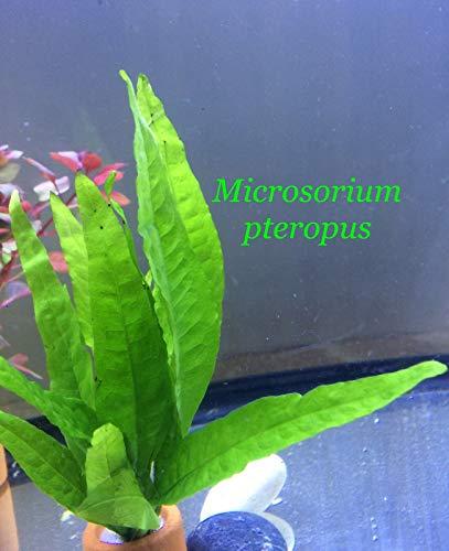 SANHOC Gesunde Live-Aquatic Microsorium pteropus Bundle Pflanze B094