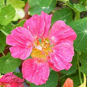 Prime Vista 5: 10 Pz Bella Semi di Nasturzio rampicante Tropaeolum Majus piantagione facile appeso semi di fiori ornamentali bonsai nuova pianta da giardino 5