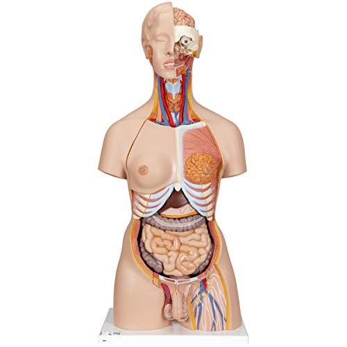 3B Scientific Menschliche Anatomie - Zweigeschlechtlicher Luxus-Torso mit geöffnetem Rücken, 28-tlg. + kostenloser Anatomiesoftware - 3B Smart Anatomy, B35