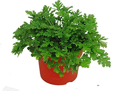 Familie Geraniaceae Pelargonium Graveolens Samen 200 Stück, Rosenduft, Pelargonium Blumensamen, Qu Weng Cao Rose Geranie Samen