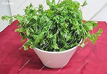 Seltene Koriandersamen frischer Koriander Kräuter Petersilie Samen Blumentopf Pflanz Non-GMO Grün Gemüse-Samen 200 Stück