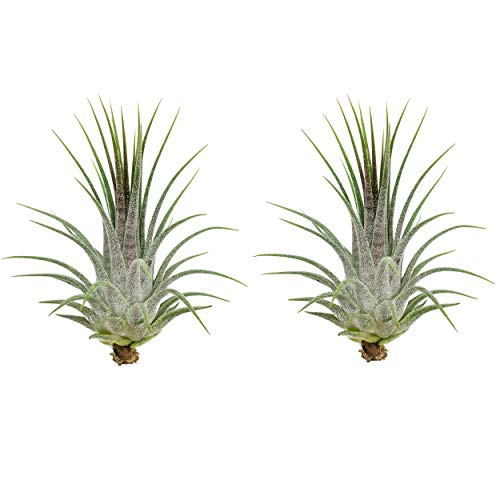 Tillandsia ionantha | grün | Luftpflanze | Zimmerpflanze | Urban Jungel | Zimmerpflanzen indoor | Tillandsien Pflanzen echt | Größe 7 cm (2)