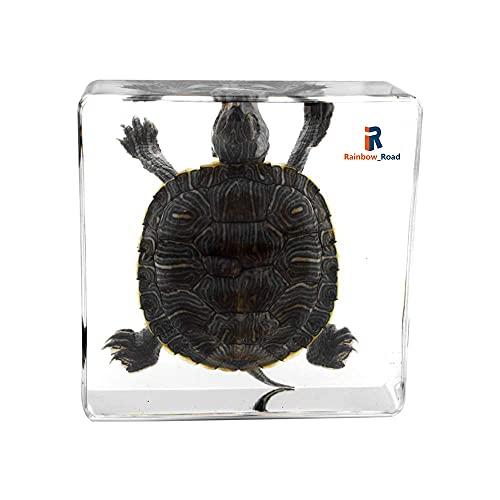 Rainbow_Road Real Marine Animal Brasil Tortuga Especimen Resina Escritorio Pisapapeles Ciencia Aula Taxidermia Tortuga para Educación Científica