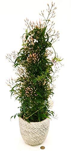 GELSOMINO, JASMINUM POLYANTHUM IN VASO PIETRA, pianta vera