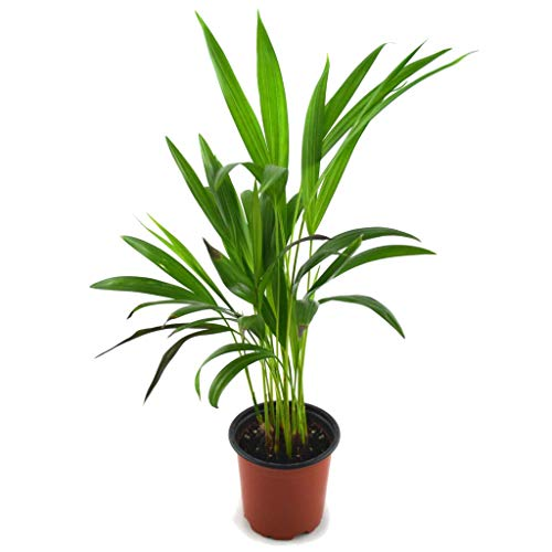 Mini Palmera de Interior Natural 30cm Palma Areca Planta Dypsis Lutescens