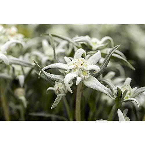 Garten-Edelweiß Watzmann, Leontopodium alpinum - im Topf 12 cm, winterhart, in Gärtnerqualität von Blumen Eber - 12 cm