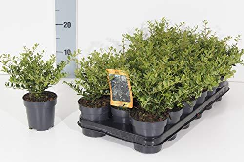 Bodendecker Buchsbaum Ersatz - Ilex crenata Stokes - 20-30cm im 0,5Ltr. Topf (5 Stück)