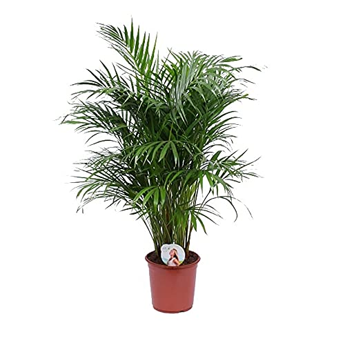 Pianta d'appartamento da Botanicly – Palma Areca – Altezza: 120 cm – Dypsis lutescens