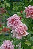 'Albertine', Rambler-Rose in A-Qualität Wurzelware