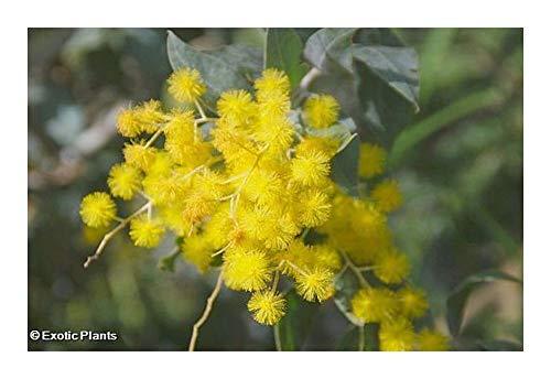 Acacia dealbata - Mimosa - 10 graines