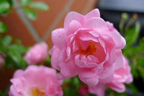 10x Bodendecker winterhart mehrjährig Bodendecker Rosen Bodendeckerrose Rosa The Fairy extra buschig Sommerblüher (10)