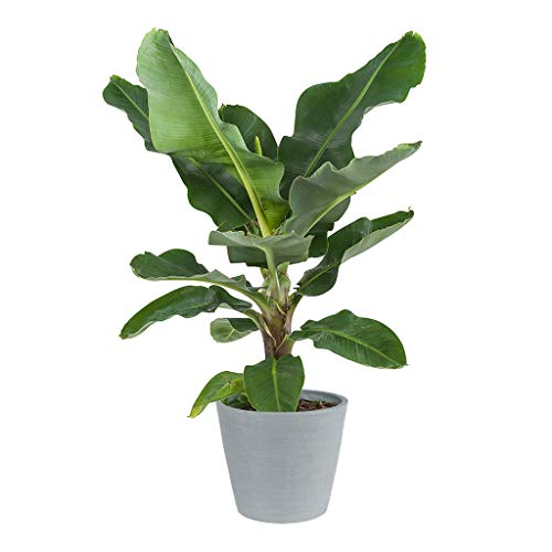 Bananier | Plante vivace verte | Plante d'intérieur | Hauteur 80 cm | Pot 27 cm | Musa Dwarf Cavendish | (ECOPOTS Bleu)