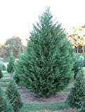 Murray Cypress, FIVE plants, upright evergreen plant, plants