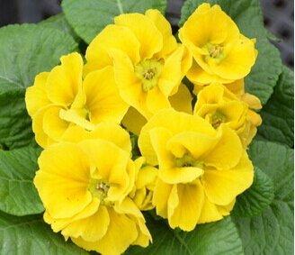 libèrent le bateau Graines de fleurs Bonsai (40 pièces) de semences Primrose, malacoides Primula, saisons de plantation, plantes à fleurs