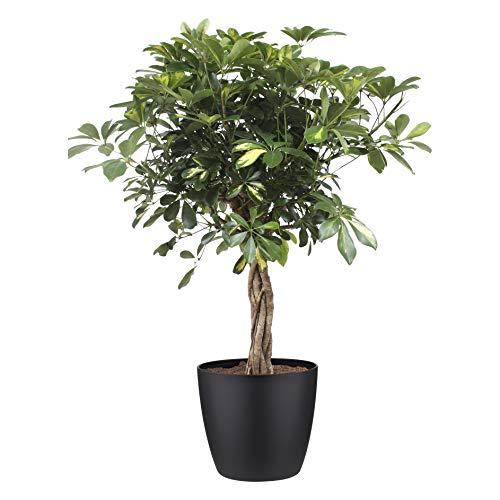 Plante d'intérieur de Botanicly – Arbre à doigts en pot de fleur noir comme un ensemble – Hauteur: 100 cm – Schefflera arb. Gold Capella