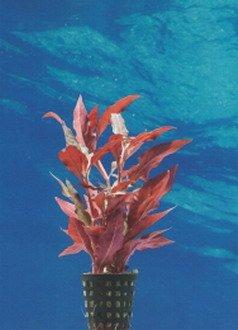 WFW wasserflora Breitblättriges, rotes Papageienblatt/Alternanthera reineckii ROT