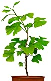 Seedeo® Ginkgo (Ginkgo biloba) Pflanze 2,5 Jahre