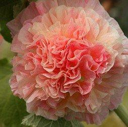 Heirloom 300 Graines Althaea Alcea rosea trémière Mixte Couleur Double Fleur d'abricot Rose Jaune Orange B0004