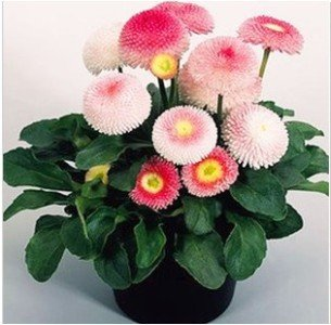 Les graines de marguerite de haute qualité 20 daisy graines de fleurs de chrysanthème plantes à fleurs d'intérieur balcon bonsaï