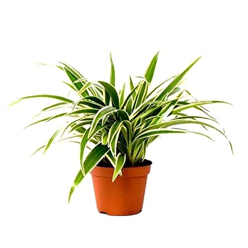 Grünlilie Chlorophytum Laxum 30 cm Luftreinigend Zimmerpflanze