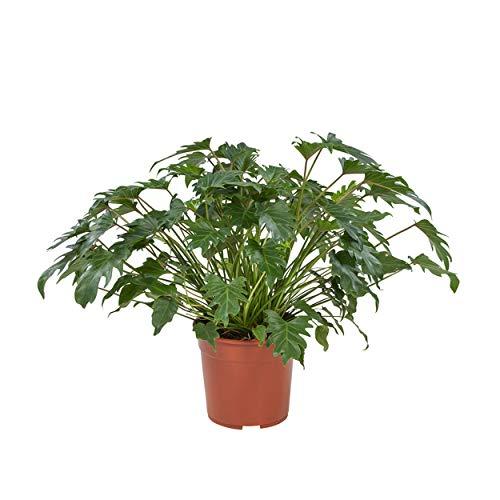 Indoor-Helden Philodendron 'Xanadu' - Baumfreund, Topf-Ø: 27 cm, Höhe: 70 cm Baumlieb