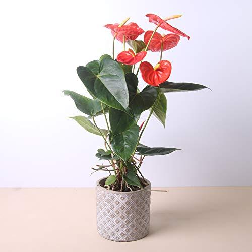 Planta natural Anthurium a domicilio - Envío gratuito - Altura 40cm y Diámetro 12cm - Plantas decorativas - Exterior e interior - Varios maceteros disponibles. (5. Macetero cuadros)