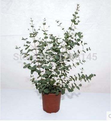 Pinkdose 5pcs Eucalyptus gunnii SILVERDROP frutto bonsai piante giardino di casa il trasporto libero