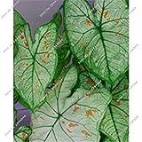 Graines de Fleurs Magnifiques Caladium Collection Graines Ornements de Jardin Plantes Bulbes Can Bonne Comestible pour Cuisson 100 Pcs 21