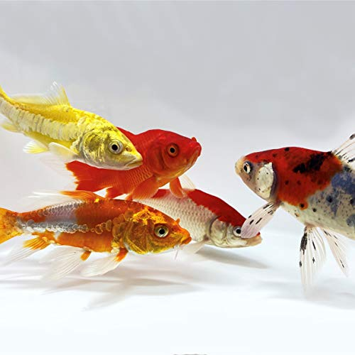 pond fishes Toledo Goldfish Live Koi and Goldfish Combo for Ponds, Aquariums or Tanks – USA Born and Raised – Live Arrival Guarantee (3 to 4 inches, 100 Fish, 20 of Each)