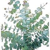 30 + Semi, eucalipto (Eucalyptus cinerea) Seeds'Silver Dollar'