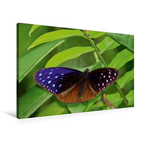 CALVENDO Premium Textil-Leinwand 90 cm x 60 cm quer EIN Motiv aus dem Kalender Zarte Schönheiten - Schmetterlinge Malaysias | Wandbild, Bild auf Keilrahmen. Euploea mulciber Natur Natur