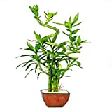 Brussel's Live Lucky Indoor Bamboo - 7 Stalk Curly - 3 Years Old; 6' to 12' Tall with Decorative Container