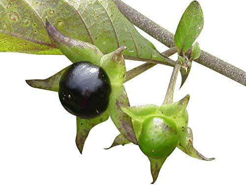 Tollkirsche 50 Samen (Atropa belladonna) **Winterhart** -Schwarze Tollkirsche-