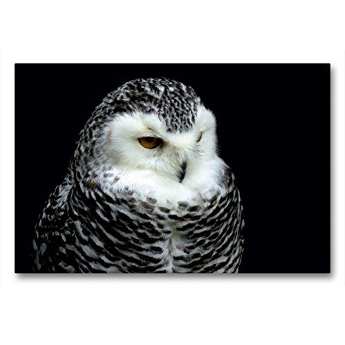CALVENDO Premium Textil-Leinwand 90 x 60 cm Quer-Format Greifvögel - Schneeeule, Leinwanddruck von Arno Klatt
