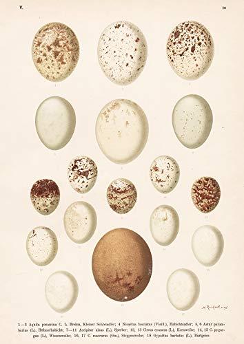Adler Eagle Habicht hawk Sperber Sparrowhawk Geier vulture Ei Eier egg eggs Vogel Vögel bird birds