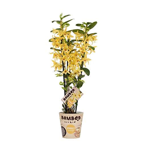 Orchidee von Botanicly – Bambus Orchidee – Höhe: 50 cm, 3 Triebe – Dendrobium nobile Chyomi